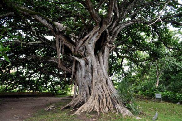 old-big-tree-with-big-roots-725x482