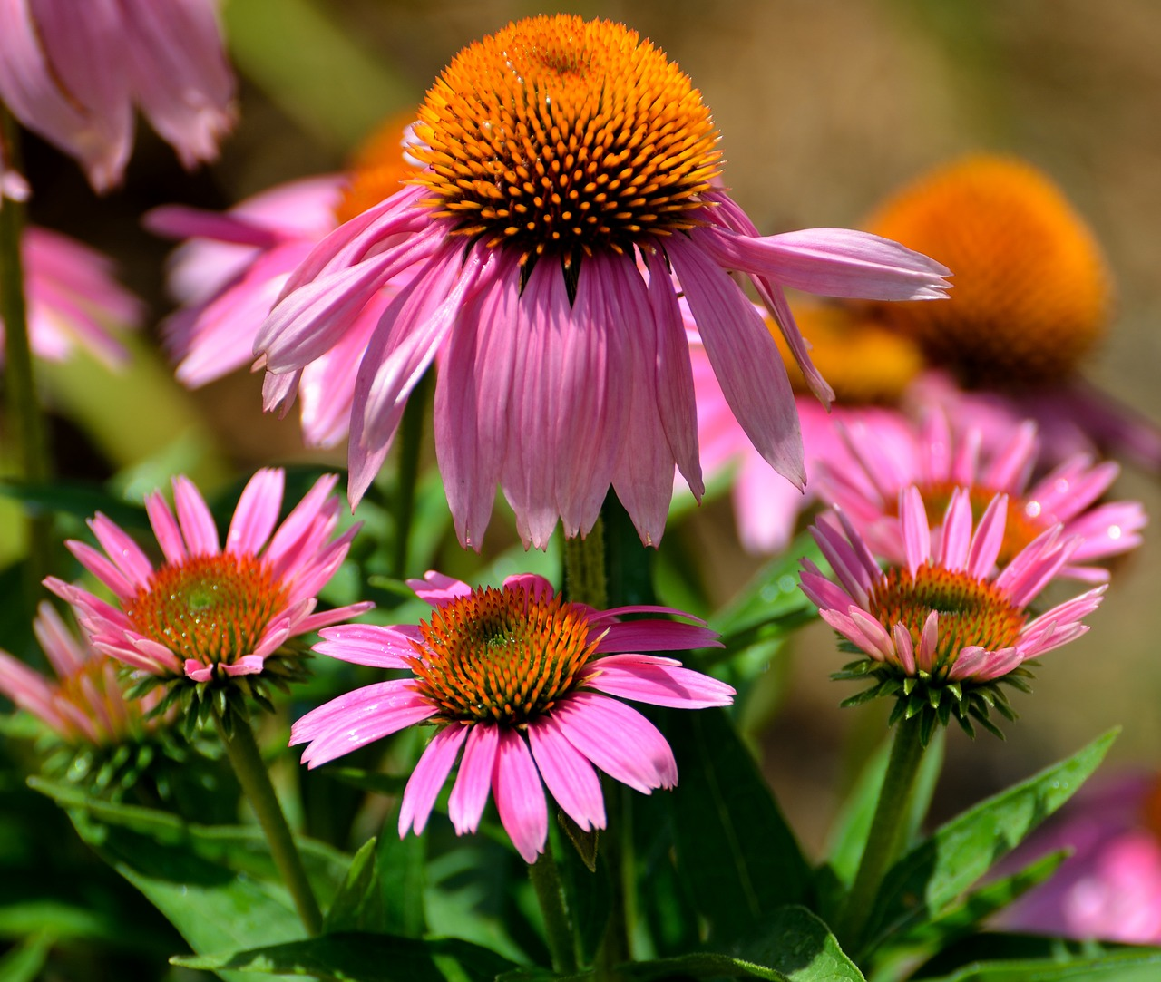 cone-flowers-1624684_1280